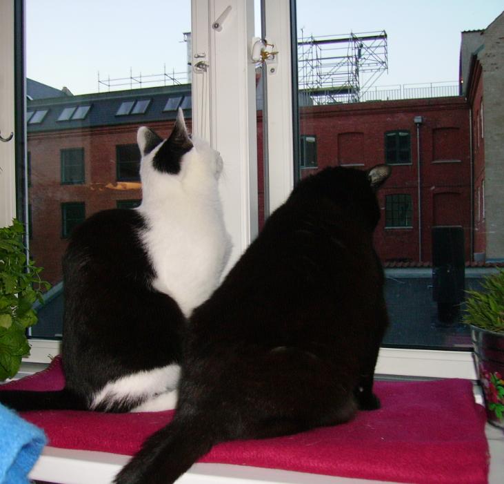 To katte sidder og kigger ud af vindue der er let åbent med børnesikring