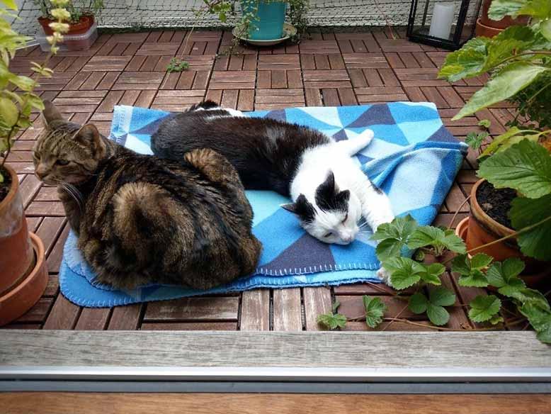 To katte ligger og hygger sig på altanen